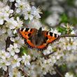 Blackthorn blossom with butterfly