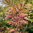 Elder tinted leaves