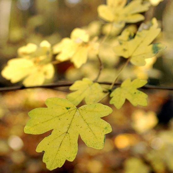 Field maple golden leaves