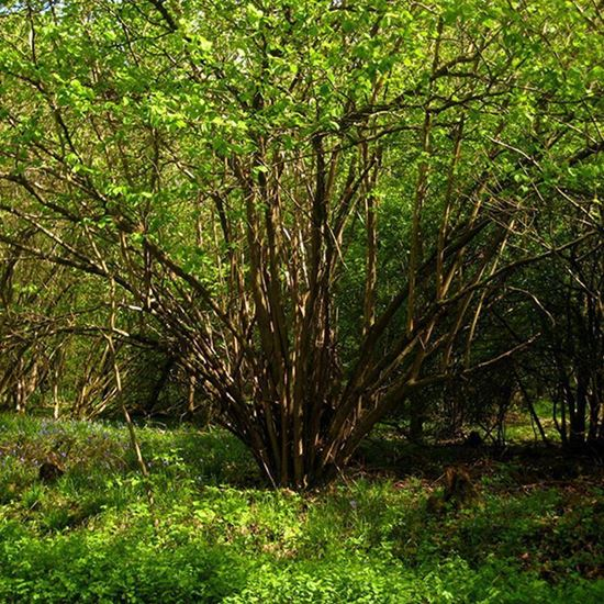 Wild wood – hazel in wood