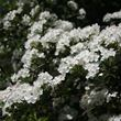 Year round colour tree pack – hawthorn blossom