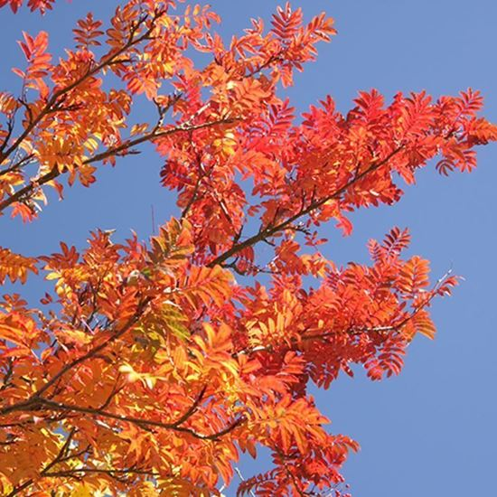 Year round colour tree pack – red Rowan leaves