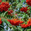 Year round colour tree pack – Rowan berries