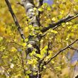 Year round colour tree pack –silver birch yellow leaves