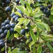 Wild Harvest - sloes