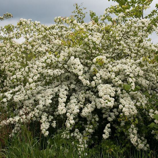 Hawthorn - whole tree in flower