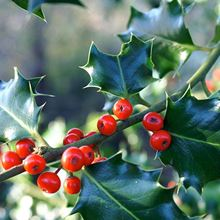Holly - berries close up