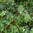 Holly - leaves close up