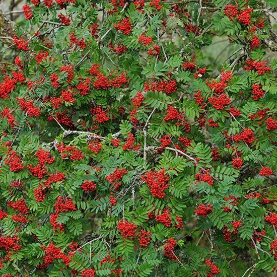 Rowan - berries