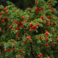 Yew - leaves and berries
