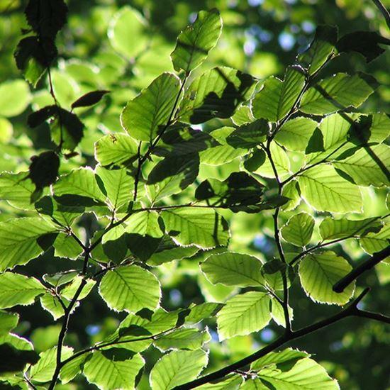 Beech - green leaves