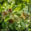 Beech - fruit