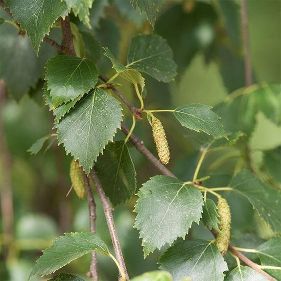 Downy birch - catkins