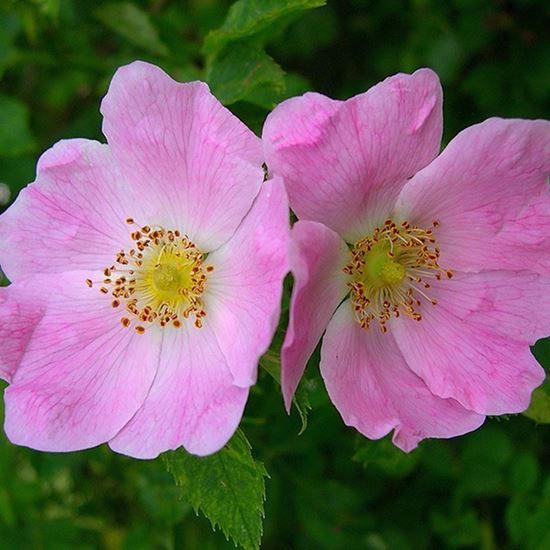 Dog rose - flowers close up