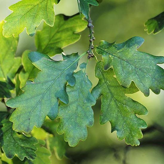 Sessile oak - leaves