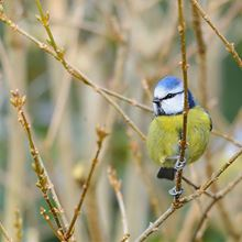 Wildlife tree pack - blue tit