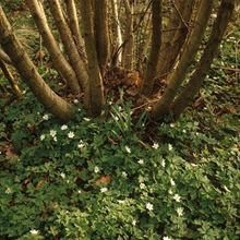 Working wood tree pack – coppiced tree