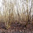Working wood tree pack – hazel coppice