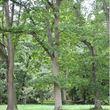 Sessile oak - full tree green leaves