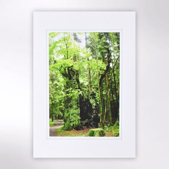Woodland Trust note cards - Curley Oak
