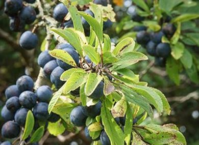 Picture for category Fruit and nut trees