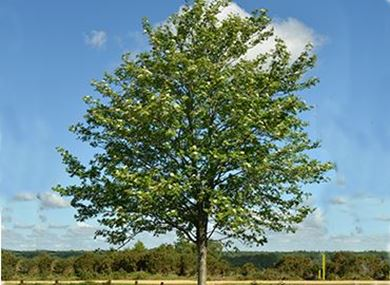 Picture for category Single trees