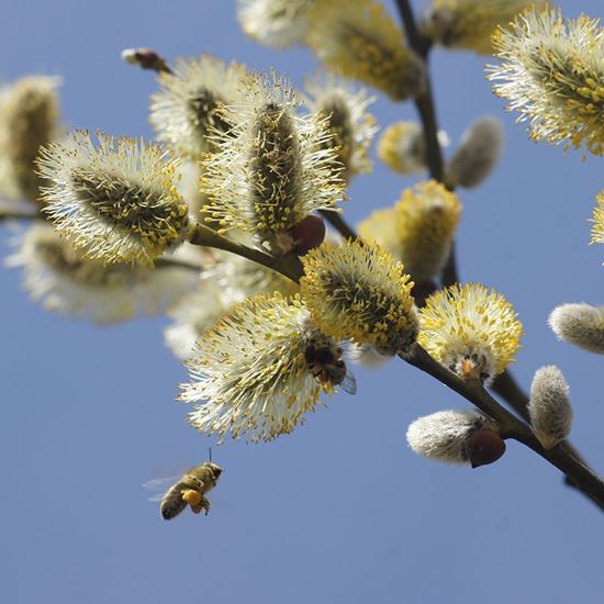 bees on goat willow