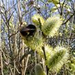 bee on goat willow