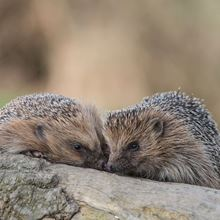 2 hedgehogs