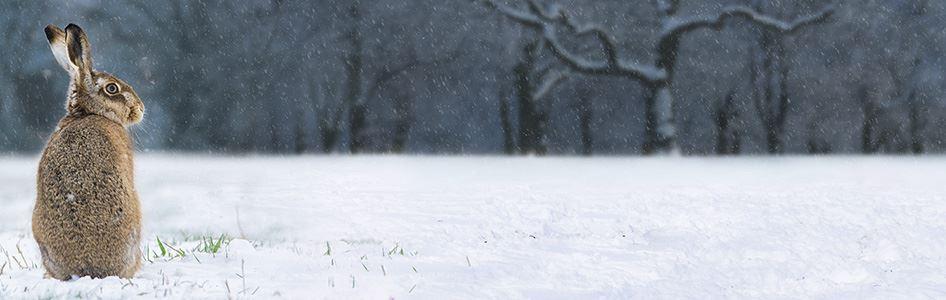 Hare sat in snow