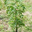 Targeting tree disease pack - young ash
