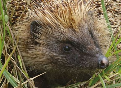 Picture for category Hedgehogs