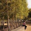 Silver Birch in a park