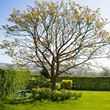Field Maple in a garden