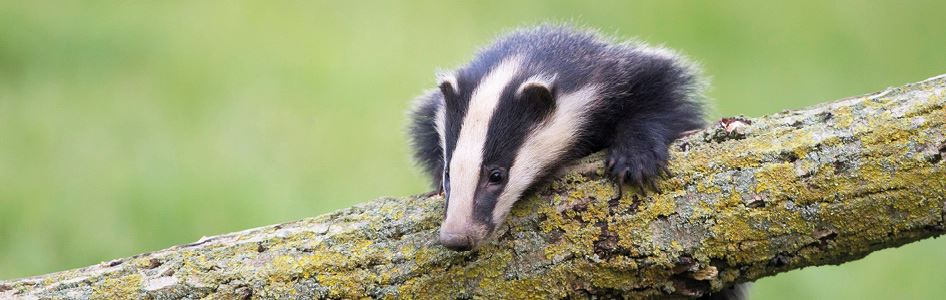 Badger on a branch