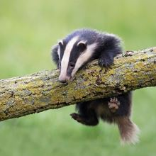 Badger on a tree branch