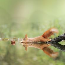 Red squirrel reaching for a nut