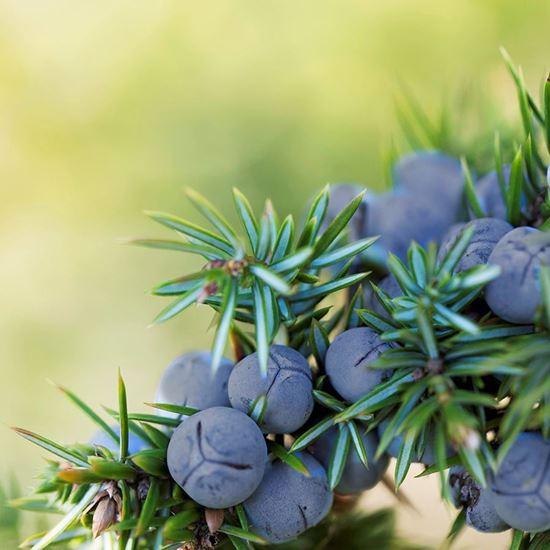 Ripe Juniper berries