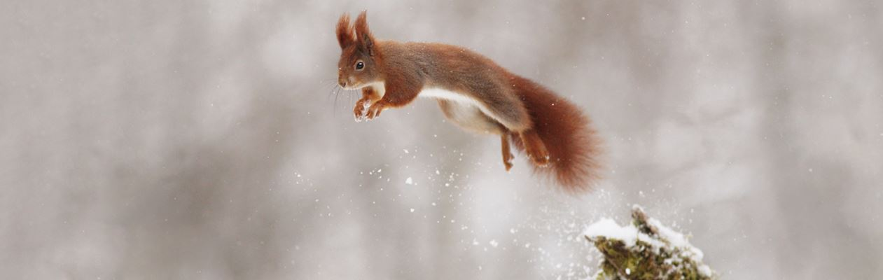 Squirrel jumping from a branch in winter