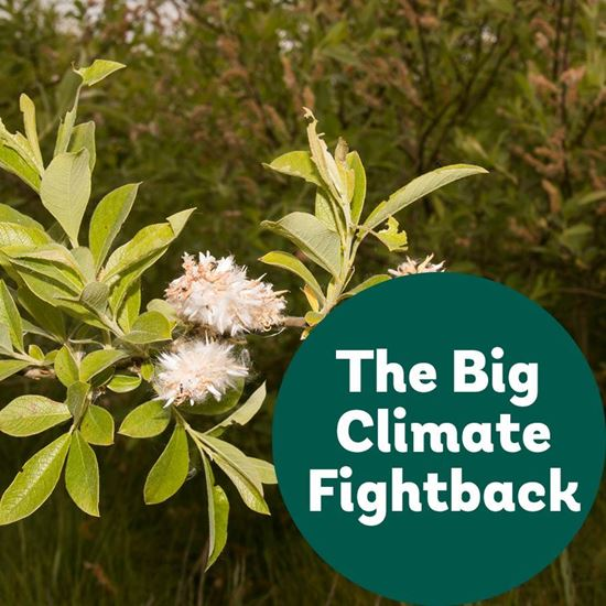 Big Climate Fightback Goat Willow