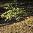 Beech - young sapling
