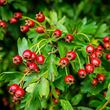 Hawthorn - berries close up