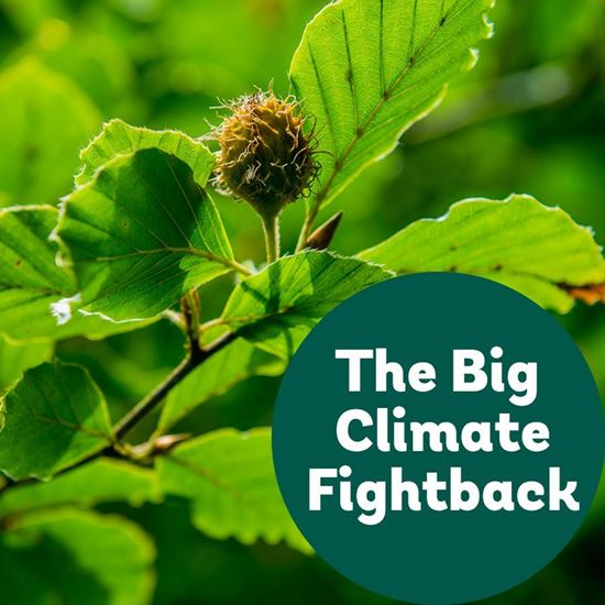 Common beech for the Big Climate Fightback