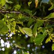 Large Leaved Lime Branch