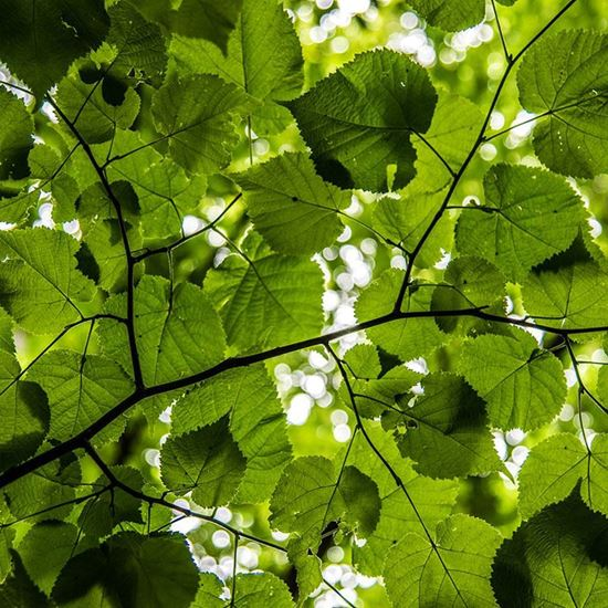 Small leaved lime leaves