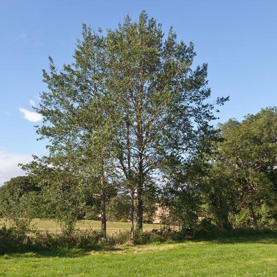 Picture of Aspen (Populus tremula)