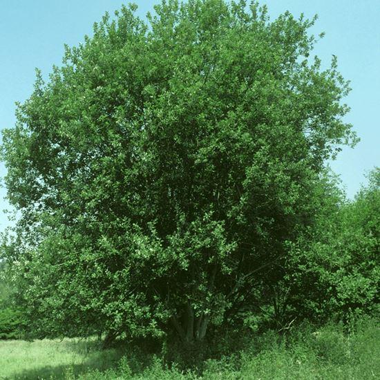Picture of Grey willow (Salix cinerea)