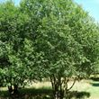 Picture of Bay willow (Salix pentandra)