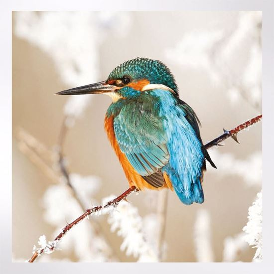 Kingfisher in snow Christmas Cards