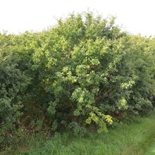 Picture of Purging buckthorn (Rhamnus cathartica)